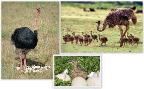 фермерское разведение страусов