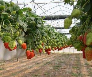 выращивании клубники в мешках
