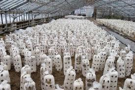 Бизнес план выращивание грибов вешенка
