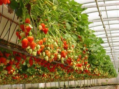 Видео как вырастить клубнику в открытом грунте
