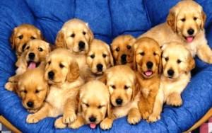 бизнес на разведении собак
